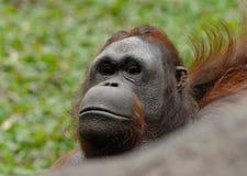 Bornean orangutan. (Pongo pygmaeus Stock Photography