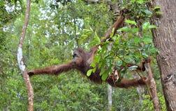 Bornean orangutan Pongo pygmaeus na drzewie pod deszczem w dzikiej naturze Środkowy Bornean orangutan Pongo pygmaeus wurmbii Fotografia Stock