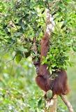 Bornean orangutan Pongo pygmaeus na drzewie pod deszczem w dzikiej naturze Środkowy Bornean orangutan Pongo pygmaeus wurmbii Fotografia Royalty Free