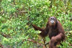 Bornean orangutan Pongo pygmaeus na drzewie pod deszczem w dzikiej naturze Środkowy Bornean orangutan Pongo pygmaeus wurmbii Zdjęcie Stock