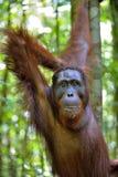 Bornean orangutan Pongo pygmaeus na drzewie w dzikiej naturze Zdjęcia Stock