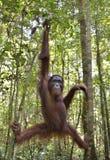 Bornean orangutan Pongo pygmaeus na drzewie w dzikiej naturze Obraz Stock