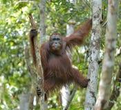 Bornean orangutan Pongo pygmaeus na drzewie w dzikim natura Fotografia Royalty Free