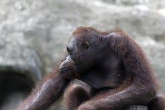 Bornean orangutan (Pongo pygmaeus). Stock Images