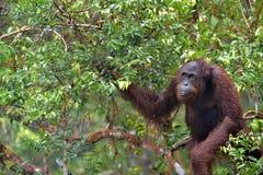 Bornean orangutan Pongo pygmaeus pod deszczem Obraz Royalty Free