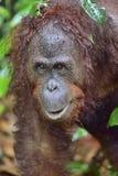 Bornean orangutan Pongo pygmaeus pod deszczem z bliska Obraz Stock