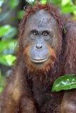 Bornean orangutan Pongo pygmaeus pod deszczem z bliska Obraz Royalty Free