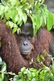 Bornean orangutan Pongo pygmaeus pod deszczem z bliska Obrazy Stock