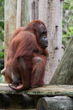 Bornean orangutan  - Pongo pygmaeus Royalty Free Stock Photo