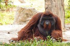 Bornean orangutan(Pongo pygmaeus) in Thailand ( Found it at Born Stock Image
