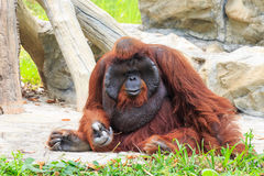 Bornean orangutan(Pongo pygmaeus) Stock Photos