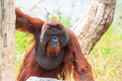 Bornean orangutan(Pongo pygmaeus) in Thailand Stock Image