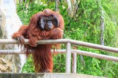 Bornean orangutan(Pongo pygmaeus) in Thailand Royalty Free Stock Photo