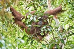 Bornean orangutan Pongo pygmaeus on the tree under rain in the wild nature. Central Bornean orangutan  Pongo pygmaeus wurmbii Royalty Free Stock Photography
