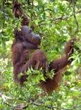 Bornean orangutan Pongo pygmaeus on the tree under rain in the wild nature. Central Bornean orangutan  Pongo pygmaeus wurmbii Royalty Free Stock Photos