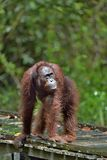 Bornean orangutan ( Pongo pygmaeus) under rain in the wild nature. Central Bornean orangutan (Pongo pygmaeus) royalty free stock photo