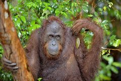 A close up portrait of the Bornean orangutan Pongo pygmaeus in the wild nature. Central Bornean orangutan  Pongo pygmaeus wurmb. Bornean orangutan Pongo pygmaeus Royalty Free Stock Photos