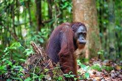 The Bornean orangutan. Pongo pygmaeus wurmbii - southwest populations. The orangutans are the only exclusively. Stock Photography