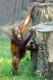 The Bornean orangutan (Pongo pygmaeus). Stock Images