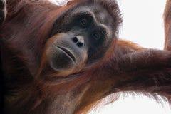 Bornean Orangutan portrait from below royalty free stock images