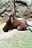 Bornean Orangutan Royalty Free Stock Photography