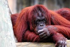Bornean Orangutan Relaxing