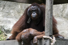 Bornean Orangutan Reproduction. Stock Image