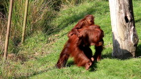 Bornean orangutan rodzina