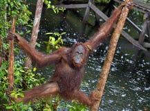 Bornean orangutan on the tree under rain Royalty Free Stock Image