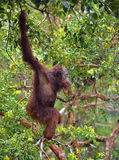 Bornean orangutan on the tree. Royalty Free Stock Images