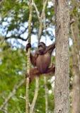 Bornean orangutan on the tree. Royalty Free Stock Image