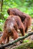Bornean orangutan w dzikiej naturze Fotografia Stock