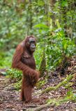 Bornean Orangutan w naturalnym siedlisku Obraz Stock