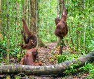 Bornean orangutan w zielonego tropikalnego lasu deszczowego Naturalnym siedlisku Zdjęcia Royalty Free