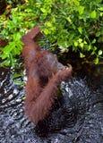 Bornean orangutan in the water. Royalty Free Stock Image