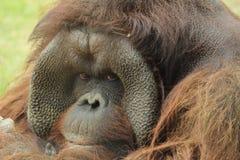 bornean orangutana Obraz Royalty Free