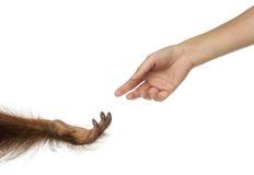 Bornean orangutang- och människahänder som når på de royaltyfri fotografi
