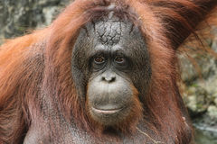 Bornean orangutang (Pongopygmaeusen) Royaltyfri Bild