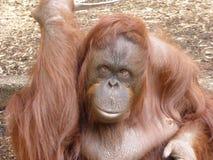 Bornean orangutang som ut ser på världen arkivbilder