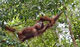 Bornean-orangutanon der Baum unter Regen in der wilden Natur Lizenzfreies Stockbild
