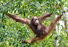 Bornean-orangutanon der Baum unter Regen in der wilden Natur Stockfoto
