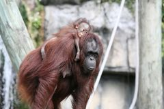Bornean Orangutans. Mother and baby orangutans Royalty Free Stock Images
