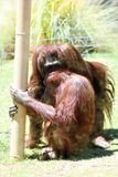 bornean orangutans Стоковые Фото