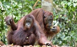 Bornean orangutans. Pongo pygmaeus wurmmbii. Orangutansin a natural habitat. Bornean orangutan Pongo pygmaeus wurmbii in the wild nature. Rainforest of Island Royalty Free Stock Photo