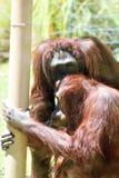 Bornean Orangutans Royalty Free Stock Photography