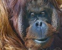 bornean orangutanzoo Arkivbilder