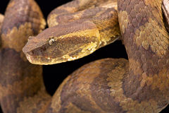 Bornean pit viper (Trimeresurus borneensis ). The Bornean pit viper (Trimeresurus borneensis ) is a stout, extremely well camouflaged, snake species endemic to Royalty Free Stock Images