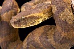 Bornean pit viper (Trimeresurus borneensis ) Royalty Free Stock Images