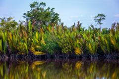 Bornean river and tropic forest. The banks of the Bornean rivers are laid with palm trees Stock Image