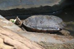 Bornean river turtle Stock Photo
